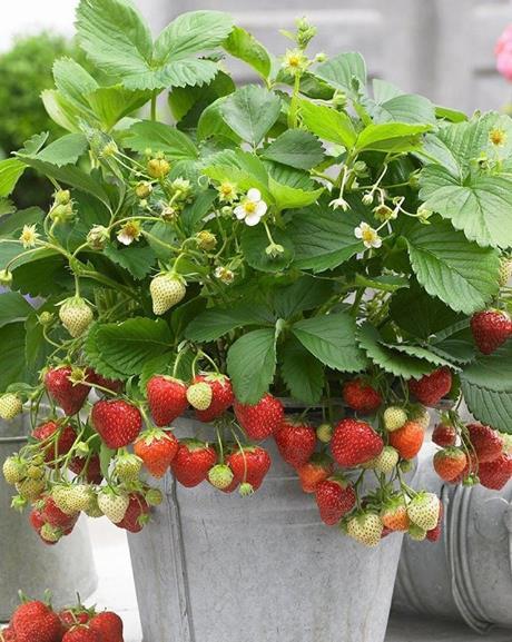 草莓叶子蔫了怎么办 打蔫原因及补救方法