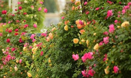 果汁阳台一年开几次花 花期月份与时间