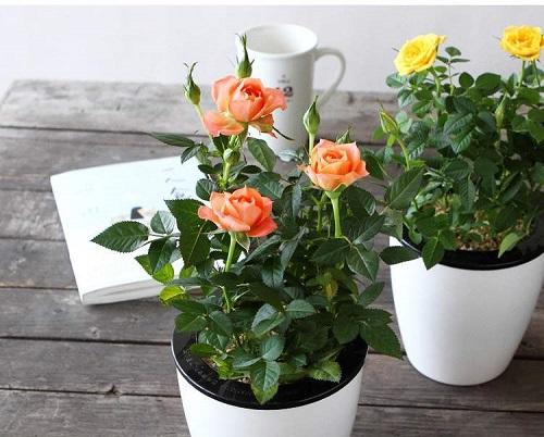玫瑰花风水寓意与作用  家里摆放玫瑰花风水禁忌