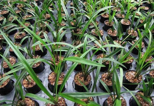 种植兰花赚钱吗 种植成本利润及前景分析