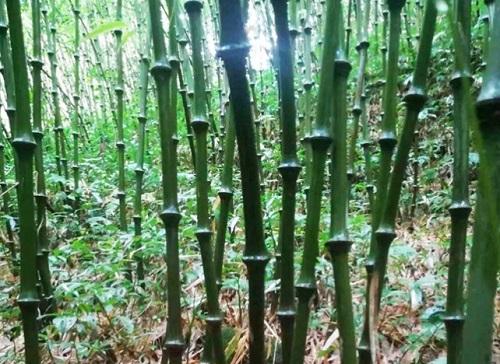 竹子的生长周期是多长时间 生长速度快吗