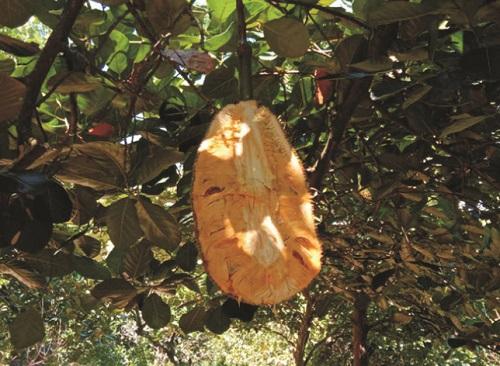 菠萝蜜种植条件 对气温气候及区域地理的要求