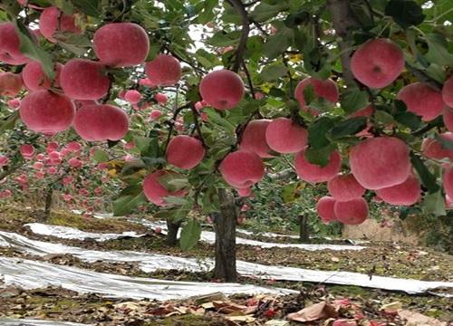 苹果树耐寒吗 冬天越冬能耐多少度低温