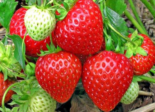 草莓不结果怎么办