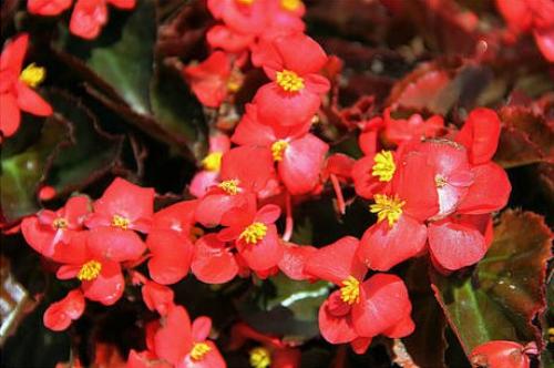 海棠花气味是什么味道