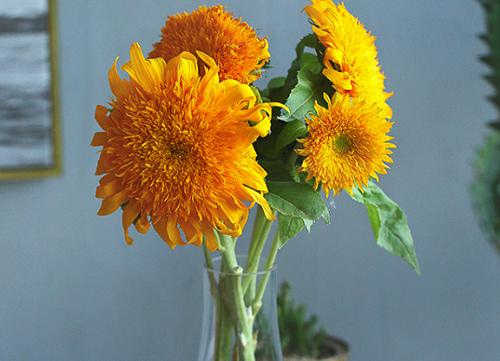 向日葵怎么醒花 鲜切向日葵醒花方法与步骤
