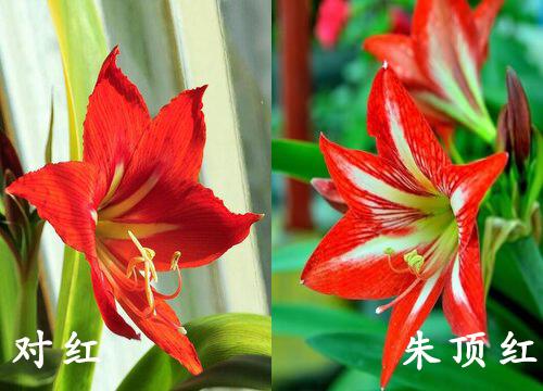 对红和朱顶红是一种花吗