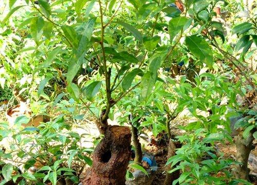 香樟盆景能在室内养吗