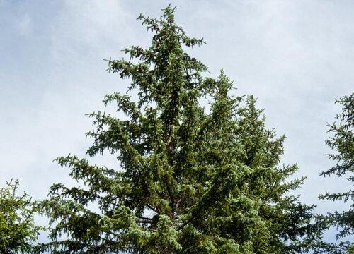 云杉是树吗 长什么样子(图片)
