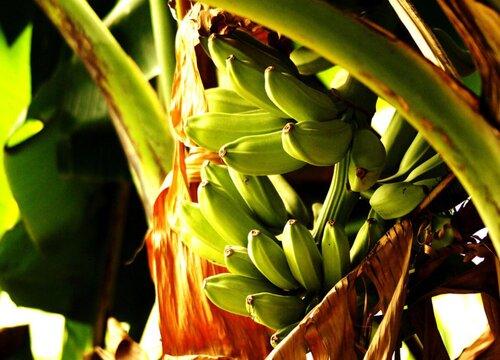 香蕉树是树吗 长什么样子(图片)