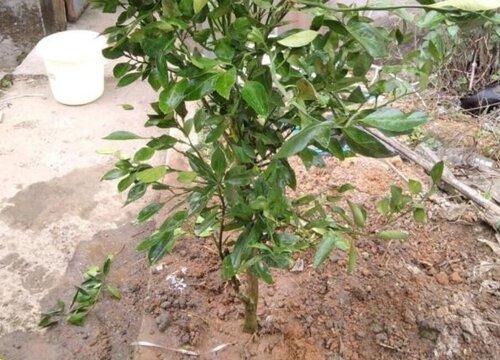 橘子树怎么配土
