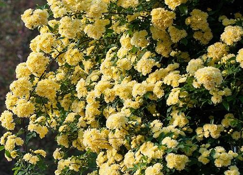 木香花光长叶子不开花原因及处理方法