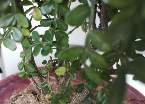 胡椒木枯萎怎么办