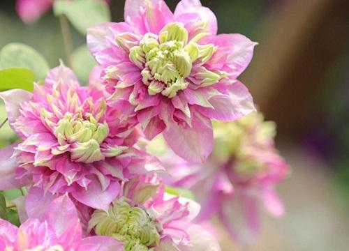铁线莲冬天开花吗
