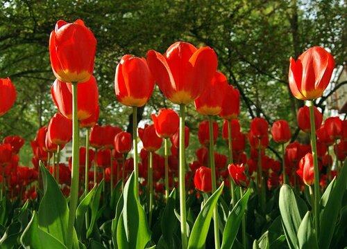 土耳其的国花是什么花