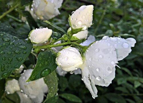 菲律宾的国花是什么花