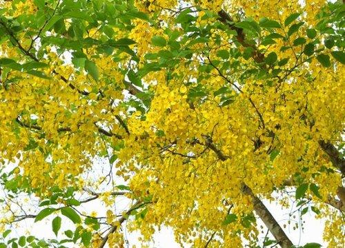 金链花是哪个国家的国花