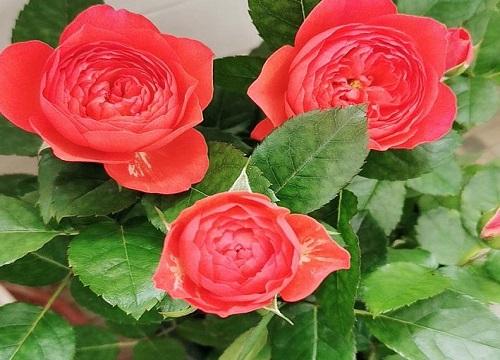 11朵玫瑰花语代表什么意思