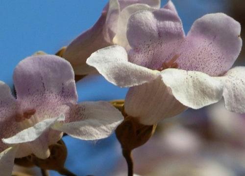桐树花可以吃吗