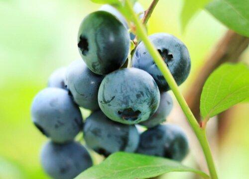 蓝莓叶子卷边是什么原因及解决方法