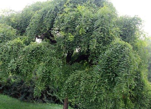 国槐是裸子植物吗