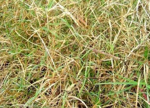 巴根草是什么样子的