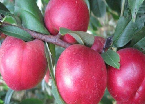 枣桃是什么水果