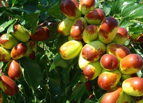 枣树哪个品种好