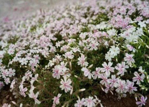 芝樱花是多年生植物吗