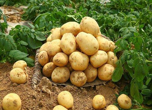 土豆属于果实吗