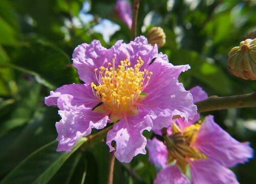 紫薇花风水寓意与作用