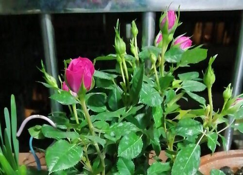 瘦高花盆适合种什么花