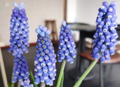 风信子是四季开花吗