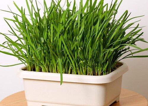 韭菜的风水寓意和种植位置