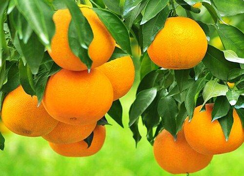 橙子是几月份的水果