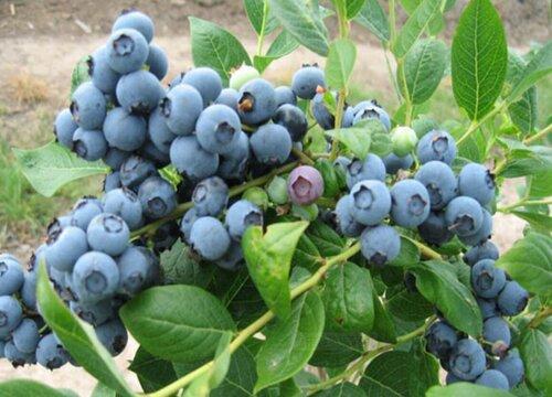蓝莓什么季节吃最好