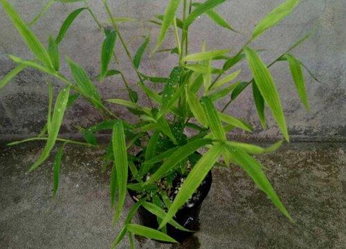 姬翠竹怎么养长的好