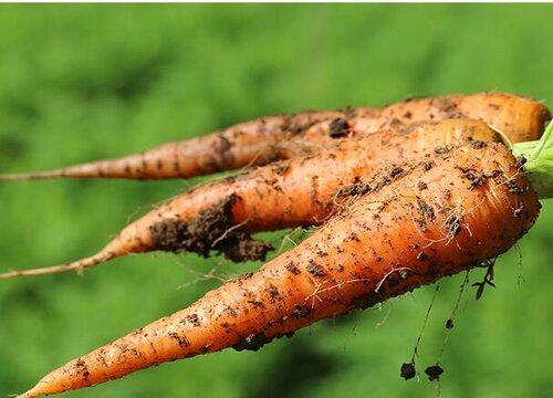 胡萝卜春天可以种吗