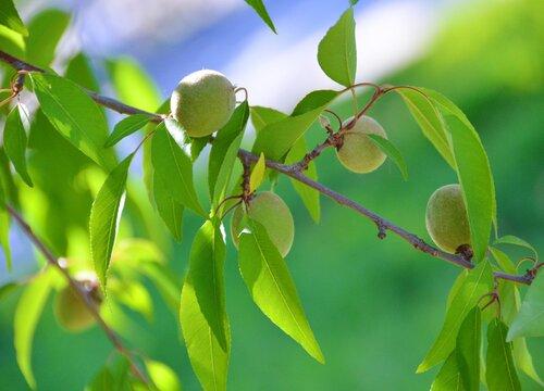 榆叶梅什么时候剪枝合适