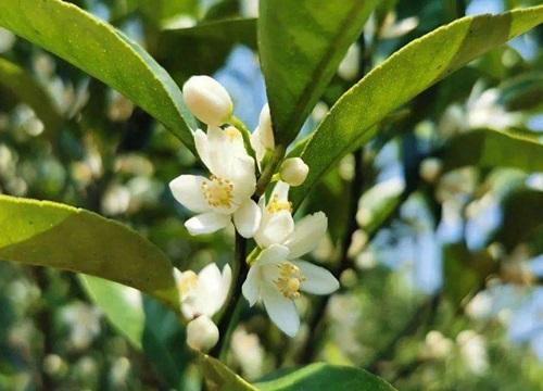 四季桔什么时候开花 一年四季开花吗