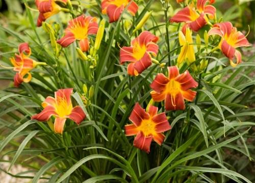 萱草一年开几次花