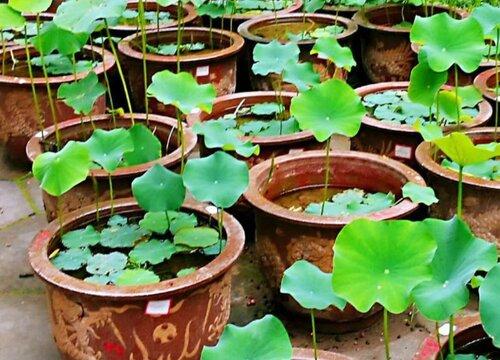 莲花喜阴还是喜阳光的植物