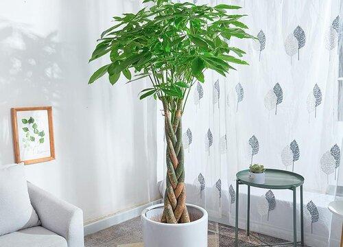 大发财树烂根怎么补救 烂根后重新生根方法