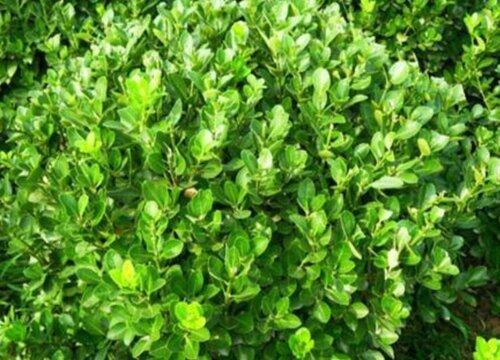 哪种黄杨品种最好 什么品种的黄杨最名贵