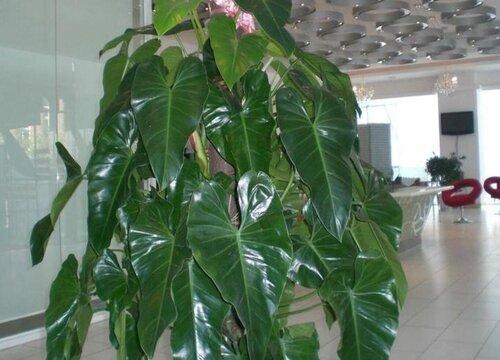 光开花不长叶的绿宝如何修剪