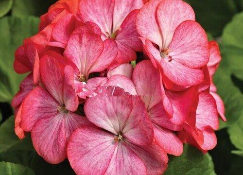 最耐热的天竺葵品种 容易度夏好养的天竺葵品种