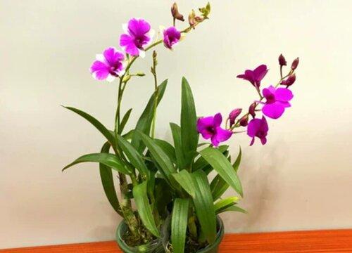 什么品种的兰花香味最浓郁 香味最好闻的兰花品种