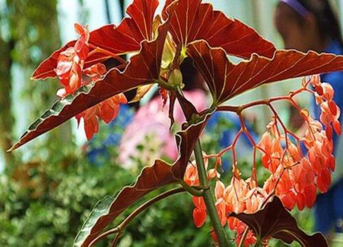 葡萄莲花为什么不开花 只长叶不开花的原因