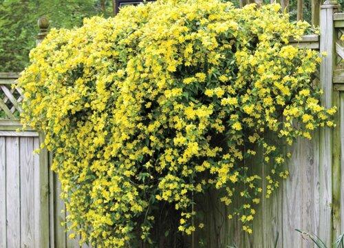 香水茉莉不开花怎么回事 不开花的处理方法