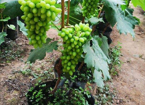 盆栽葡萄怎么矮化 矮化修剪方法